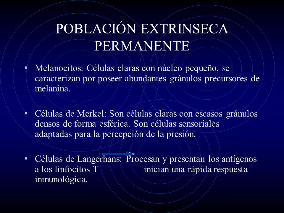 POBLACIÓN EXTRINSECA PERMANENTE Melanocitos: Células claras con núcleo pequeño, se caracterizan por poseer abundantes gránulos precursores de melanina