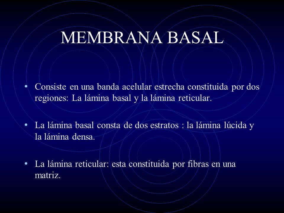 MEMBRANA BASAL Consiste en una banda acelular estrecha constituida por dos regiones: La lámina basal y la lámina reticular. La lámina basal consta de