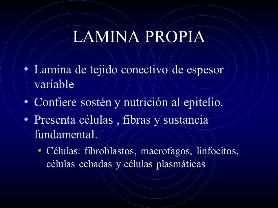 LAMINA PROPIA Lamina de tejido conectivo de espesor variable Confiere sostén y nutrición al epitelio. Presenta células, fibras y sustancia fundamental