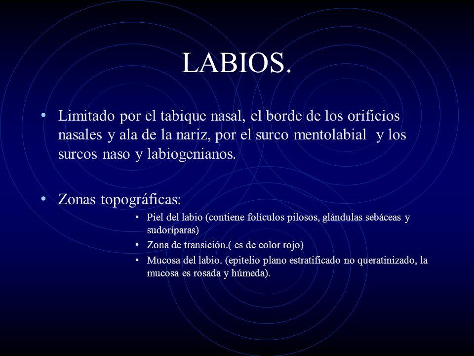 LABIOS. Limitado por el tabique nasal, el borde de los orificios nasales y ala de la nariz, por el surco mentolabial y los surcos naso y labiogenianos
