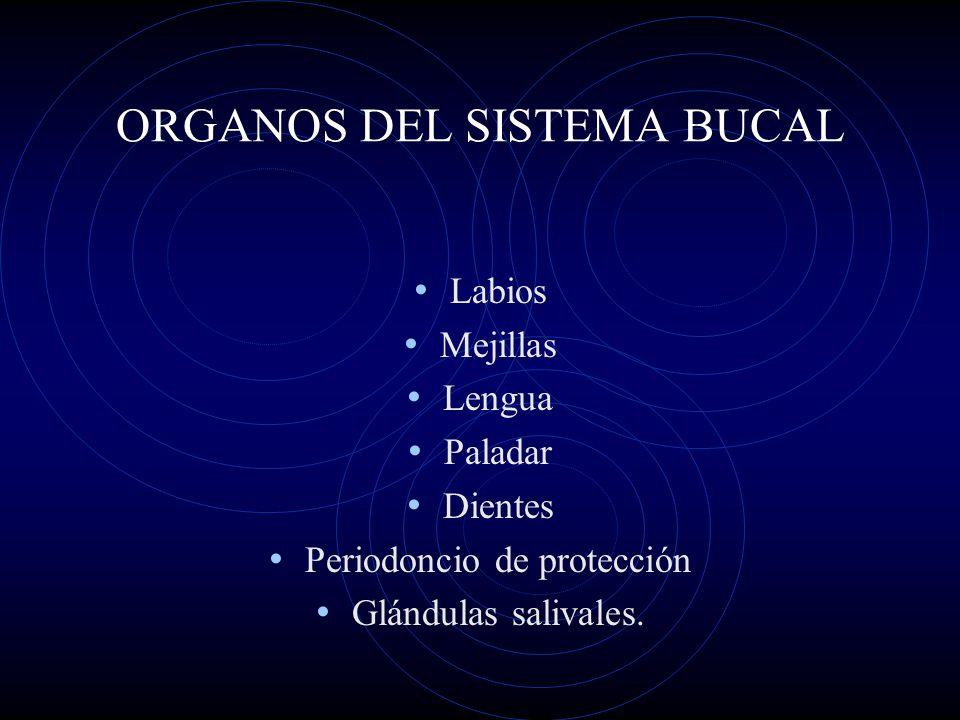 ORGANOS DEL SISTEMA BUCAL Labios Mejillas Lengua Paladar Dientes Periodoncio de protección Glándulas salivales.