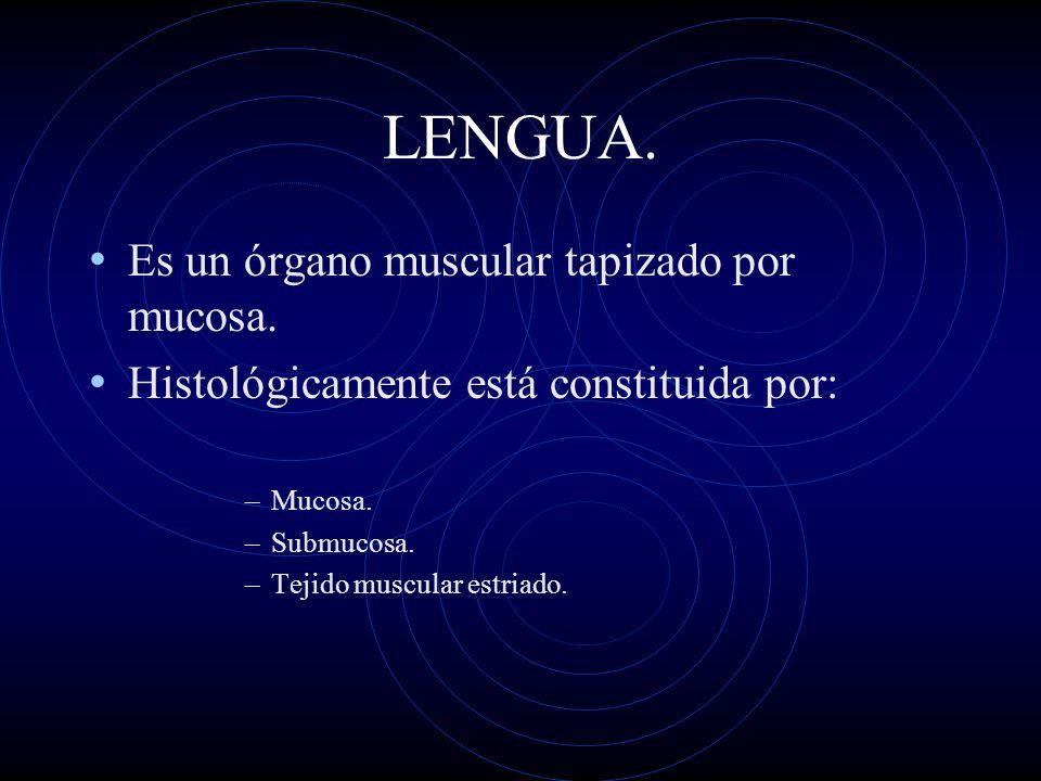 LENGUA. Es un órgano muscular tapizado por mucosa. Histológicamente está constituida por: –Mucosa. –Submucosa. –Tejido muscular estriado.