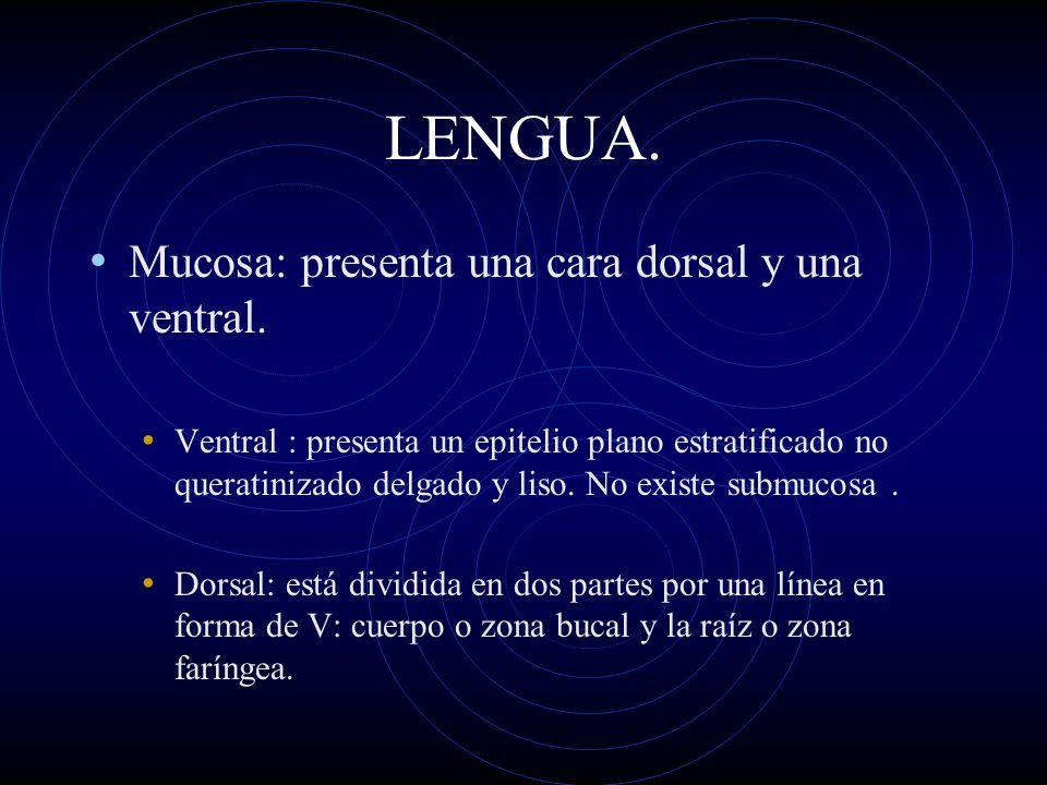 LENGUA. Mucosa: presenta una cara dorsal y una ventral. Ventral : presenta un epitelio plano estratificado no queratinizado delgado y liso. No existe