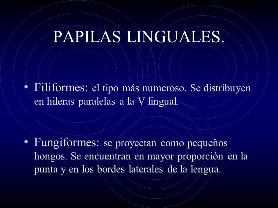 PAPILAS LINGUALES. Filiformes: el tipo más numeroso. Se distribuyen en hileras paralelas a la V lingual. Fungiformes: se proyectan como pequeños hongo