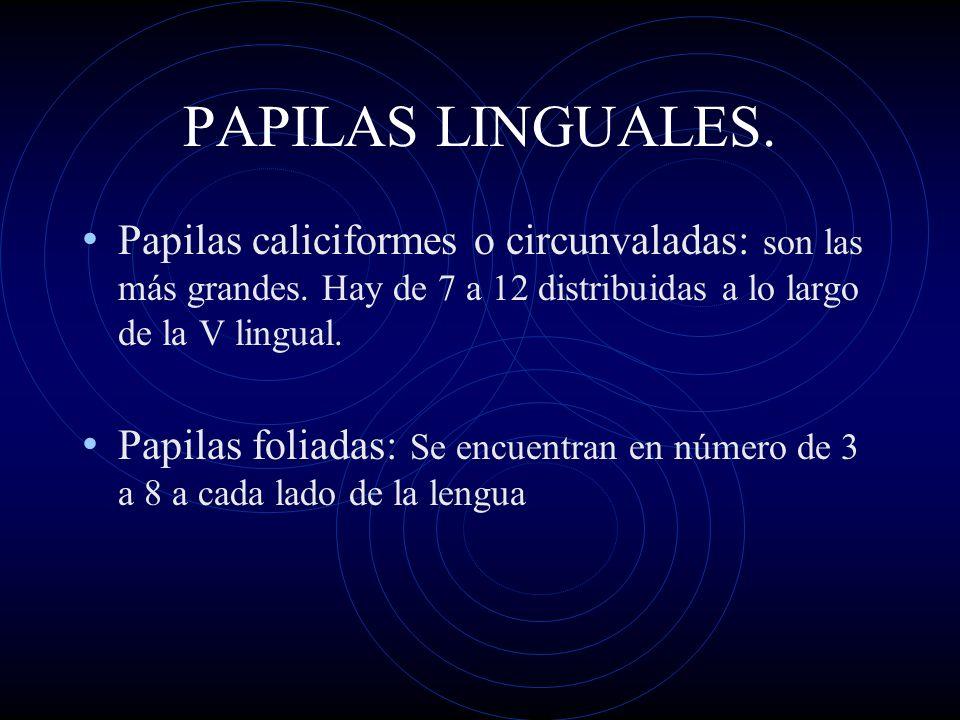 PAPILAS LINGUALES. Papilas caliciformes o circunvaladas: son las más grandes. Hay de 7 a 12 distribuidas a lo largo de la V lingual. Papilas foliadas: