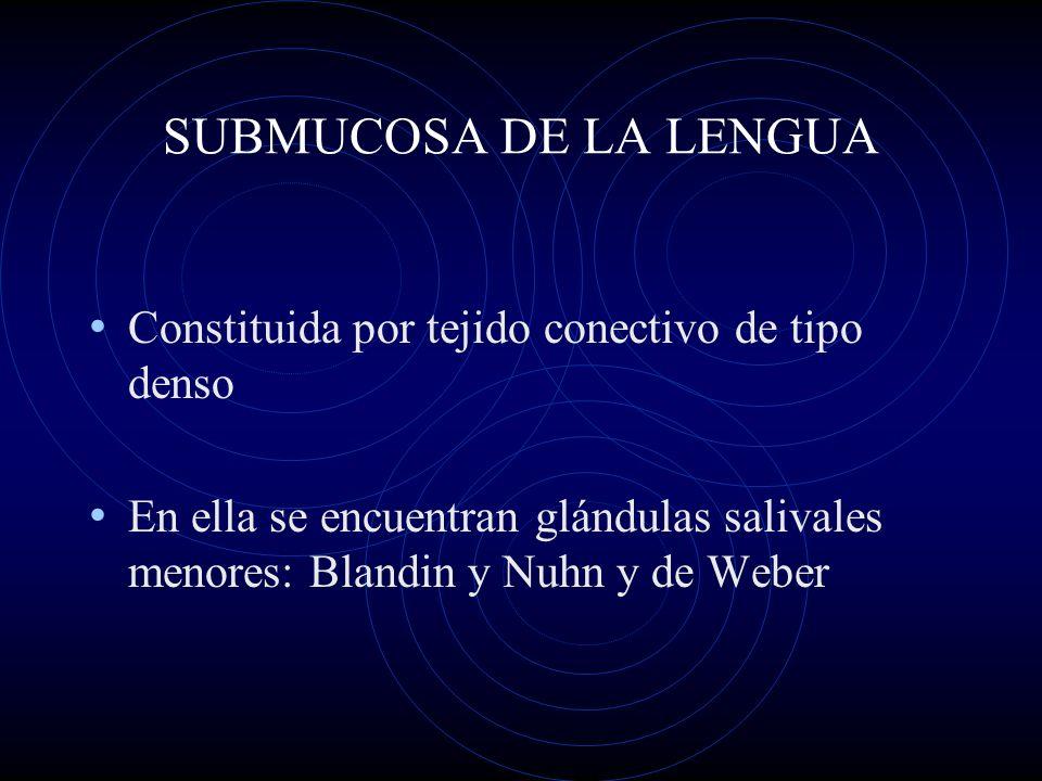 SUBMUCOSA DE LA LENGUA Constituida por tejido conectivo de tipo denso En ella se encuentran glándulas salivales menores: Blandin y Nuhn y de Weber