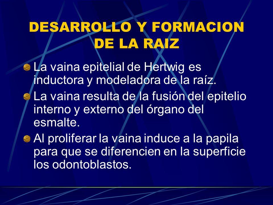 DESARROLLO Y FORMACION DE LA RAIZ La vaina epitelial de Hertwig es inductora y modeladora de la raíz.