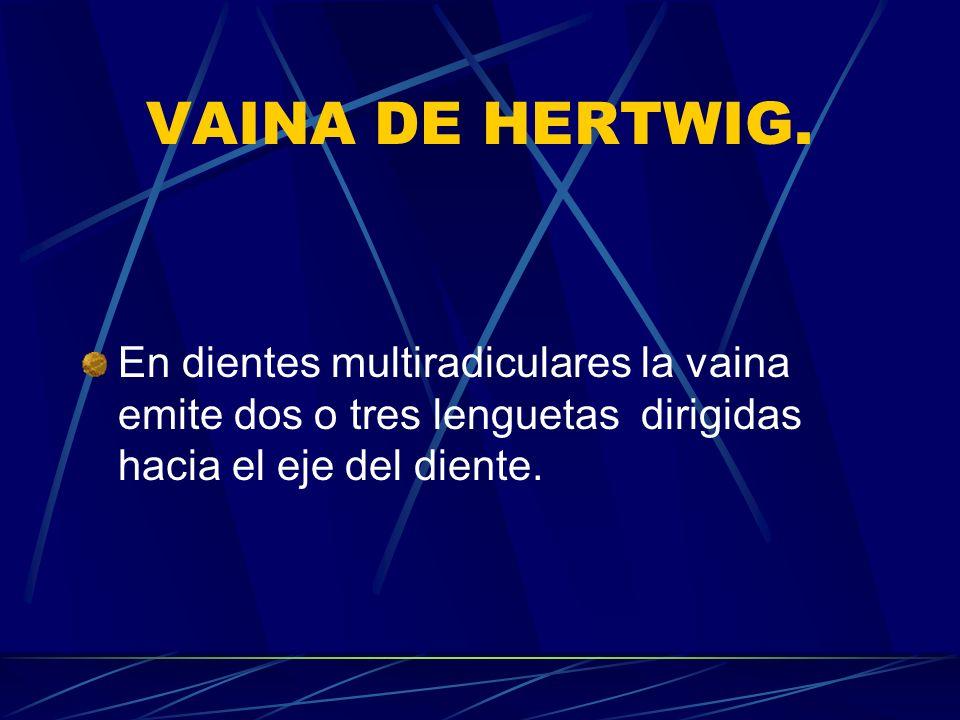 VAINA DE HERTWIG.