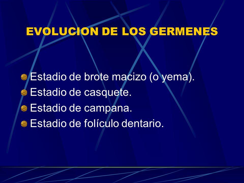 EVOLUCION DE LOS GERMENES Estadio de brote macizo (o yema).