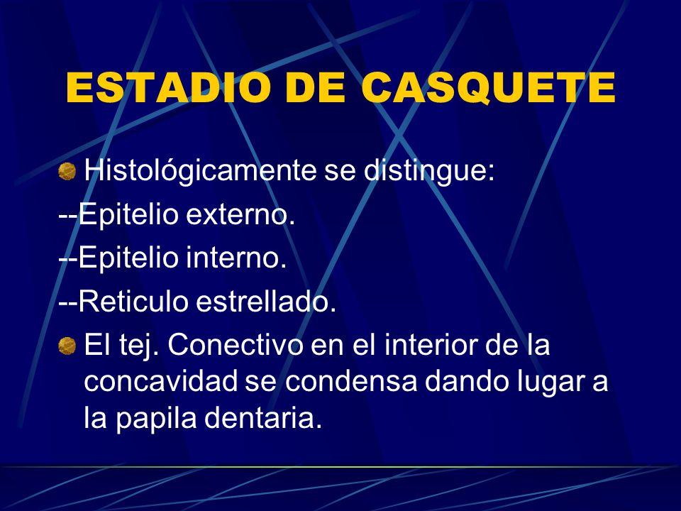 ESTADIO DE CASQUETE Histológicamente se distingue: --Epitelio externo.