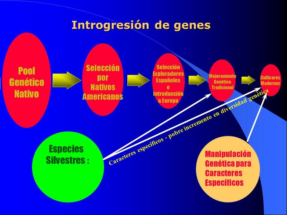 Introgresión de genes Pool Genético Nativo Selección por Nativos Americanos Selección Exploradores Españoles e Introducción a Europa Mejoramiento Gené