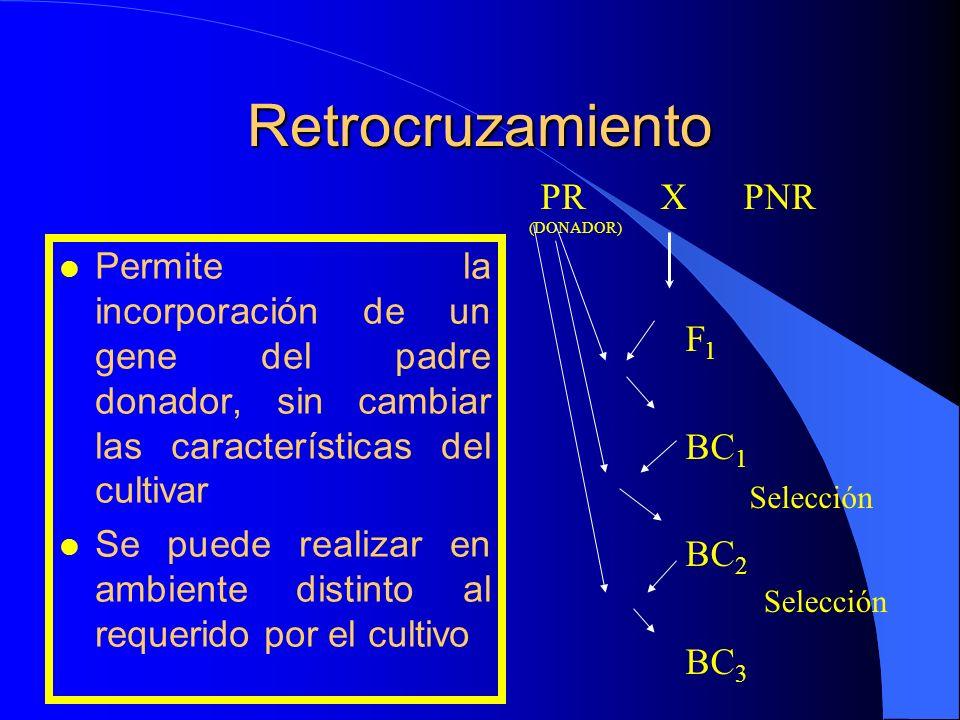 Retrocruzamiento l Permite la incorporación de un gene del padre donador, sin cambiar las características del cultivar l Se puede realizar en ambiente