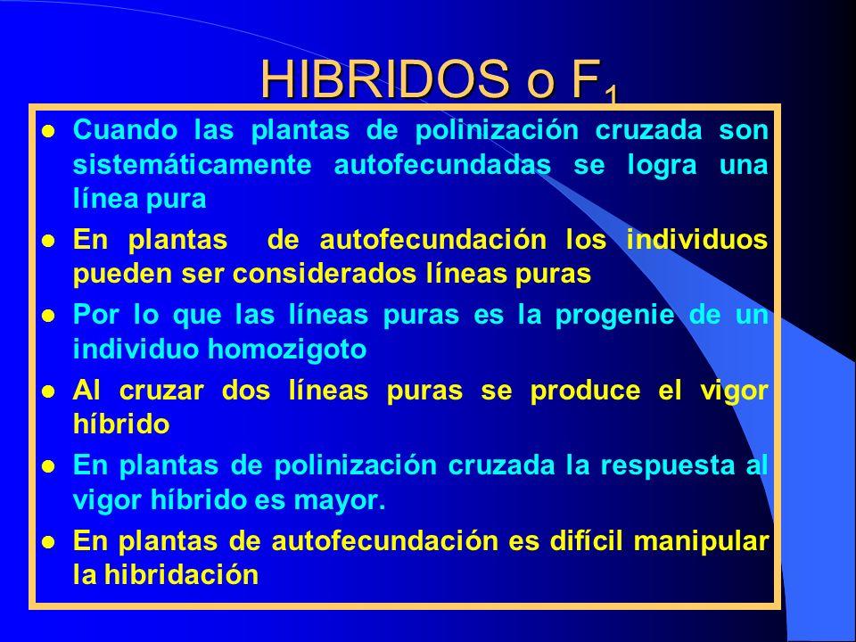 HIBRIDOS o F 1 l Cuando las plantas de polinización cruzada son sistemáticamente autofecundadas se logra una línea pura l En plantas de autofecundació