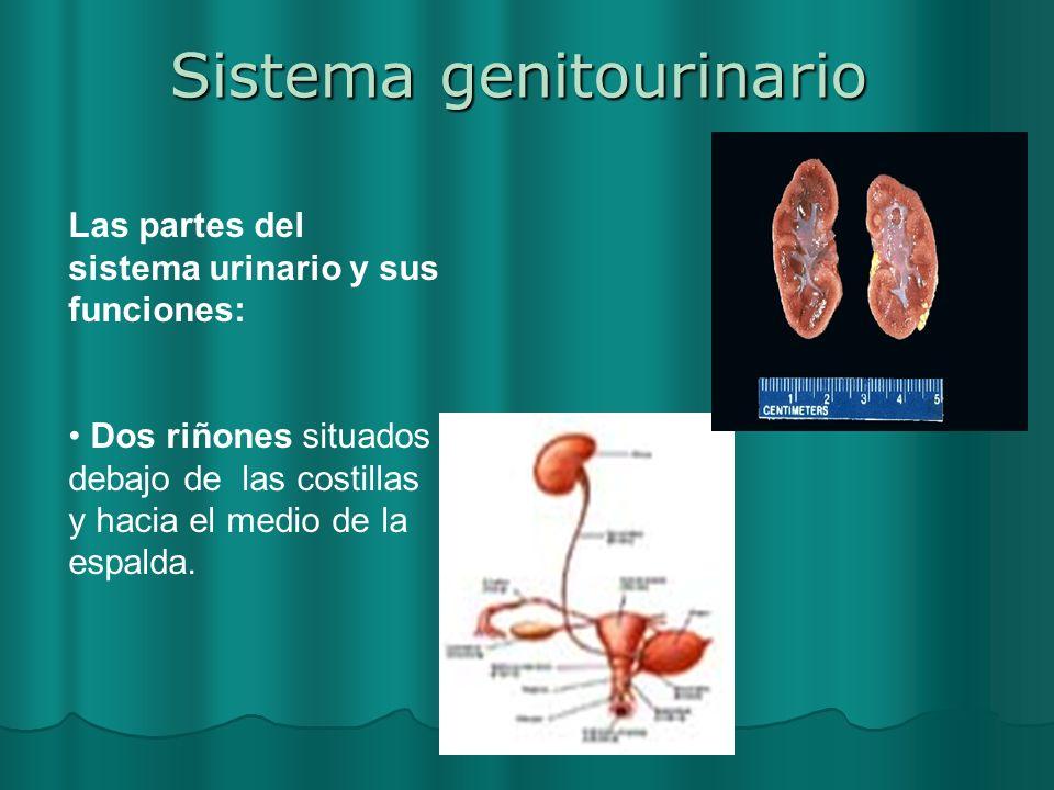 Sistema genitourinario Las partes del sistema urinario y sus funciones: Dos riñones situados debajo de las costillas y hacia el medio de la espalda.