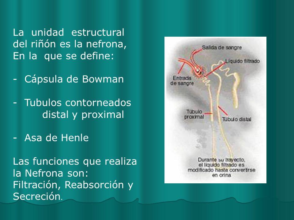 La unidad estructural del riñón es la nefrona, En la que se define: - Cápsula de Bowman - Tubulos contorneados distal y proximal - Asa de Henle Las funciones que realiza la Nefrona son: Filtración, Reabsorción y Secreción.