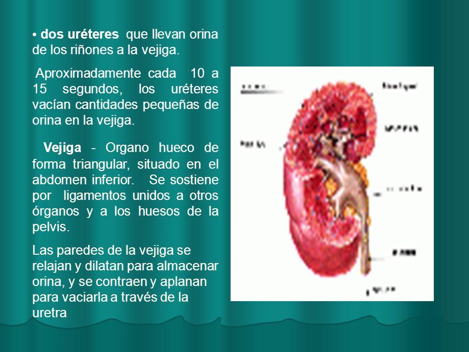 dos uréteres que llevan orina de los riñones a la vejiga.
