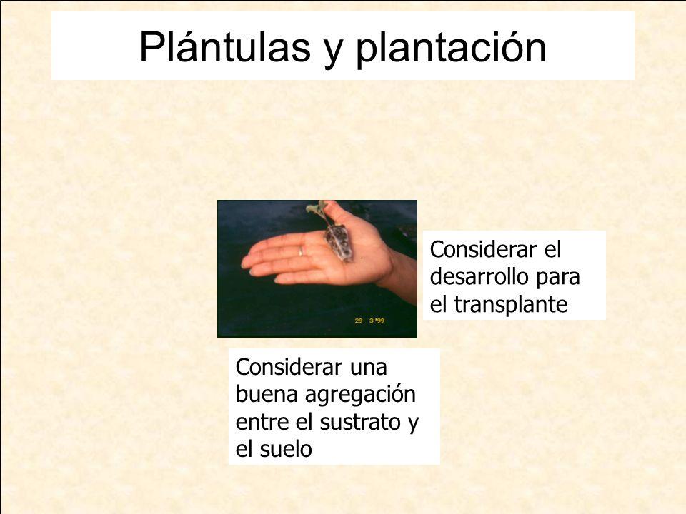Plántulas y plantación Considerar el desarrollo para el transplante Considerar una buena agregación entre el sustrato y el suelo