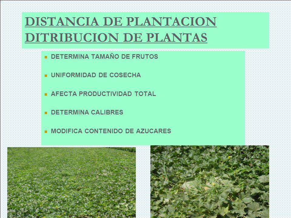 DISTANCIA DE PLANTACION DITRIBUCION DE PLANTAS DETERMINA TAMAÑO DE FRUTOS UNIFORMIDAD DE COSECHA AFECTA PRODUCTIVIDAD TOTAL DETERMINA CALIBRES MODIFIC