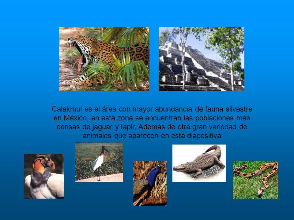 Calakmul es el área con mayor abundancia de fauna silvestre en México, en esta zona se encuentran las poblaciones más densas de jaguar y tapir, Además