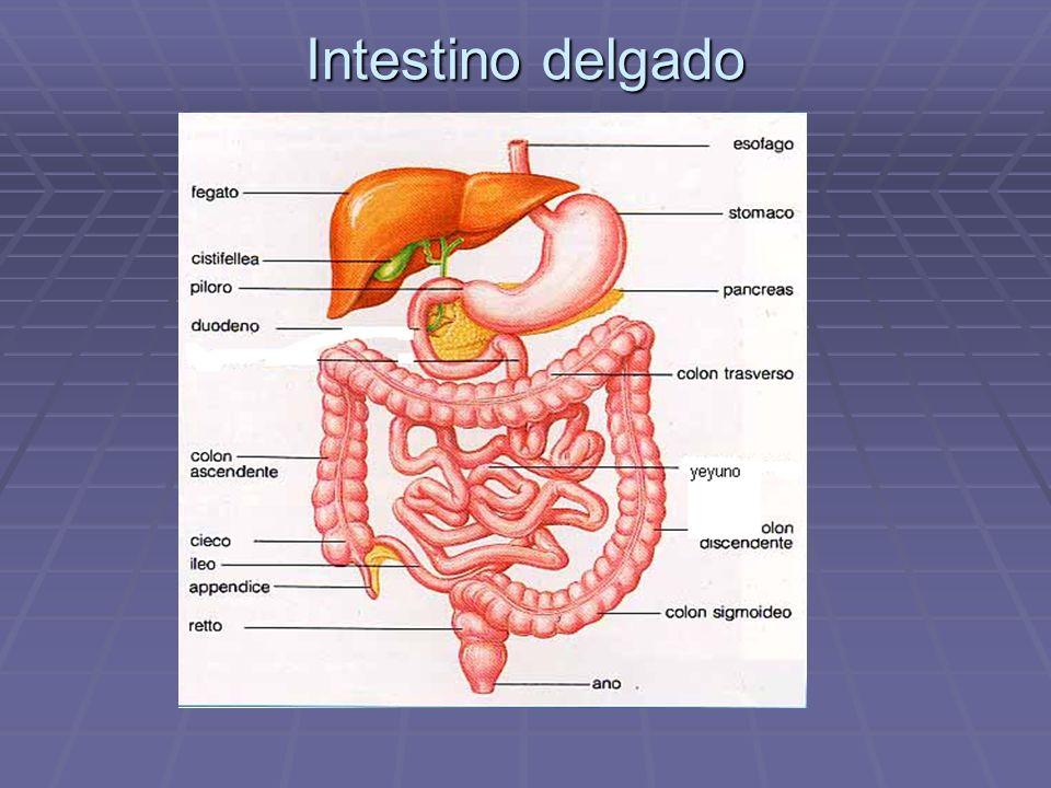 Intestino delgado