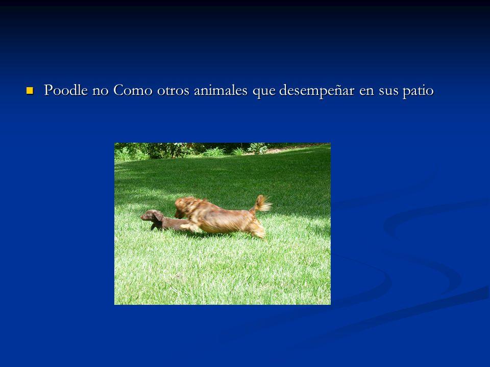 Poodle no Como otros animales que desempeñar en sus patio Poodle no Como otros animales que desempeñar en sus patio