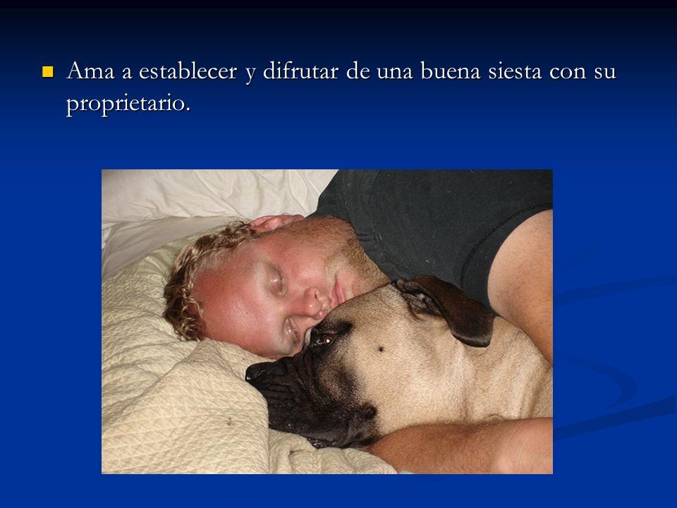 Ama a establecer y difrutar de una buena siesta con su proprietario.