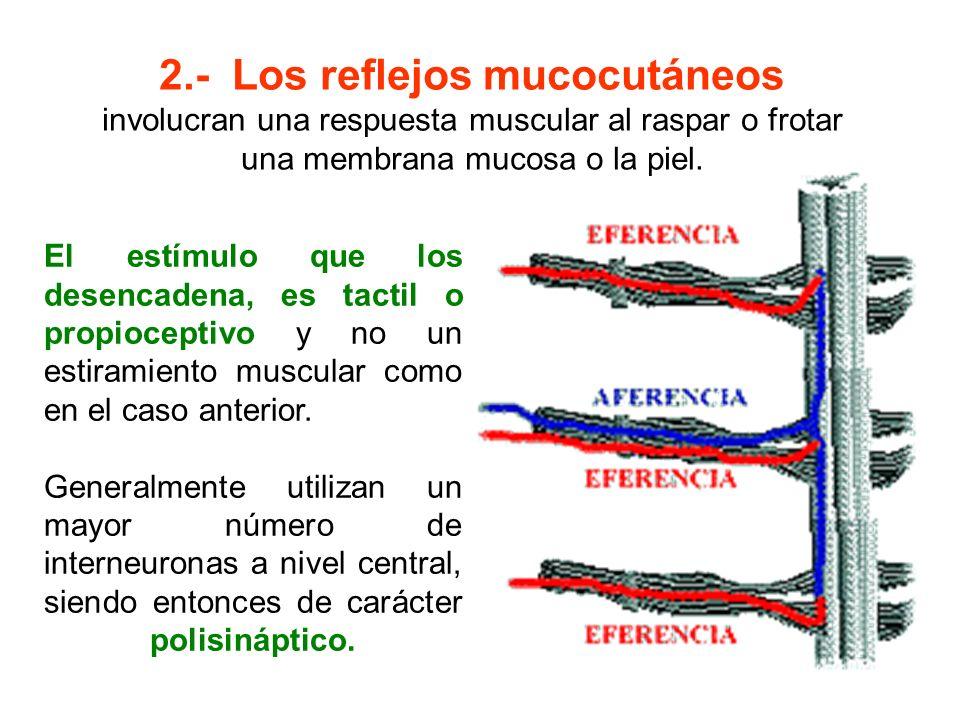 2.- Los reflejos mucocutáneos involucran una respuesta muscular al raspar o frotar una membrana mucosa o la piel. El estímulo que los desencadena, es