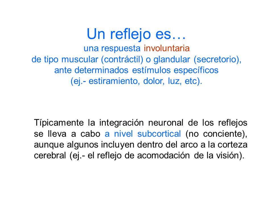 Un reflejo es… una respuesta involuntaria de tipo muscular (contráctil) o glandular (secretorio), ante determinados estímulos específicos (ej.- estira
