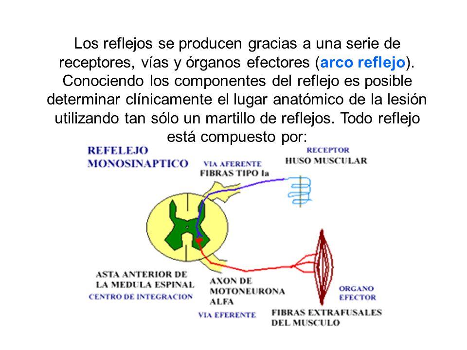 Reflejo rotuliano: Se aplica un golpe seco con el martillo de reflejos en el tendón debajo de la rótula, y la respuesta es una extensión de la pierna.