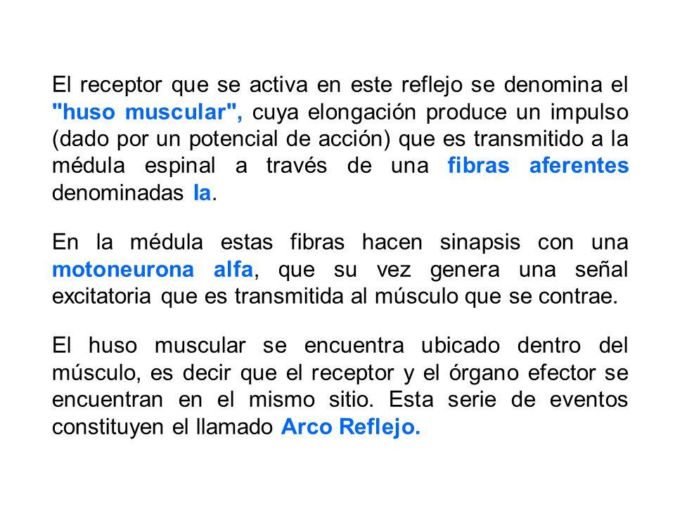 El receptor que se activa en este reflejo se denomina el