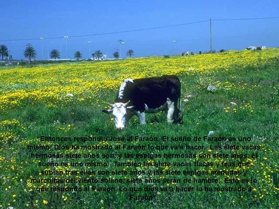 Las siete vacas bonitas y las siete espigas llenas significan siete años de abundancia; las dos cosas significan lo mismo en el sueño.