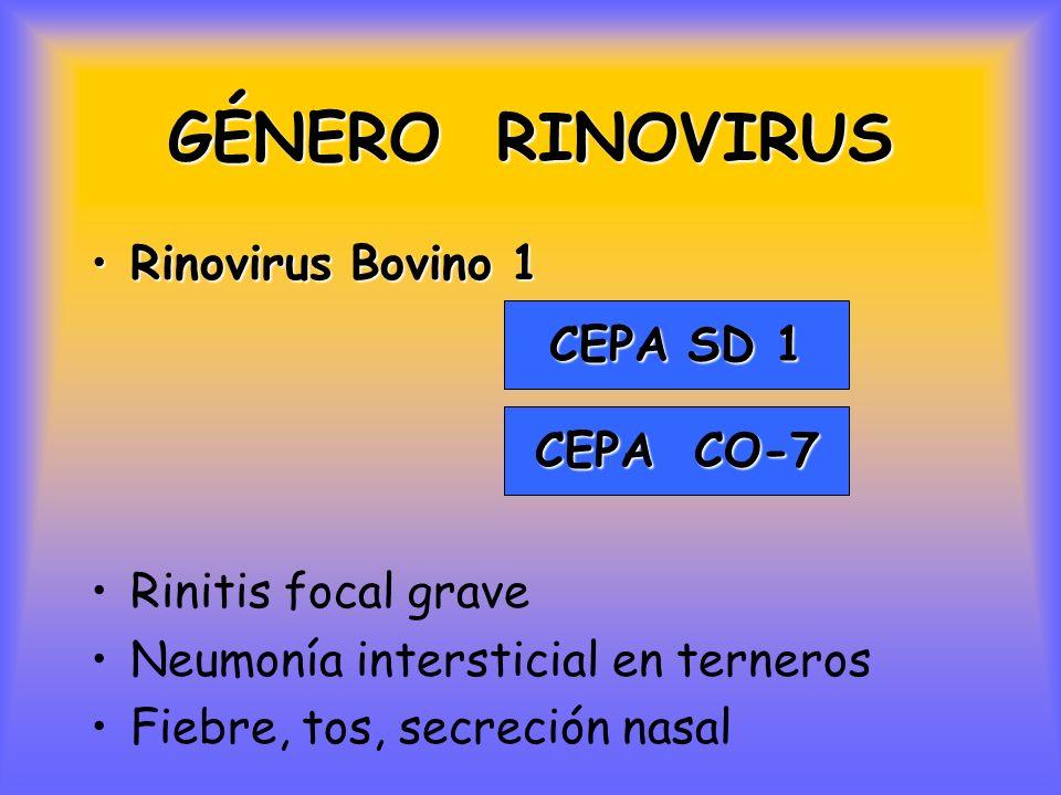 GÉNERO RINOVIRUS Rinovirus Bovino 1Rinovirus Bovino 1 Rinitis focal grave Neumonía intersticial en terneros Fiebre, tos, secreción nasal CEPA SD 1 CEPA CO-7