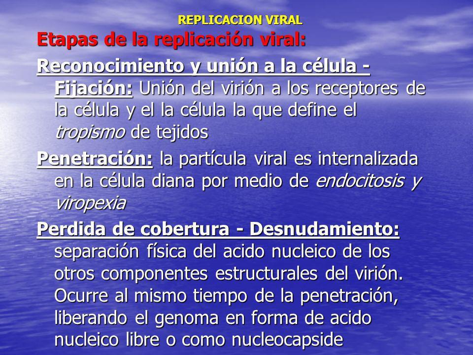 REPLICACION VIRAL REPLICACION VIRAL Etapas de la replicación viral: Reconocimiento y unión a la célula - Fijación: Unión del virión a los receptores d