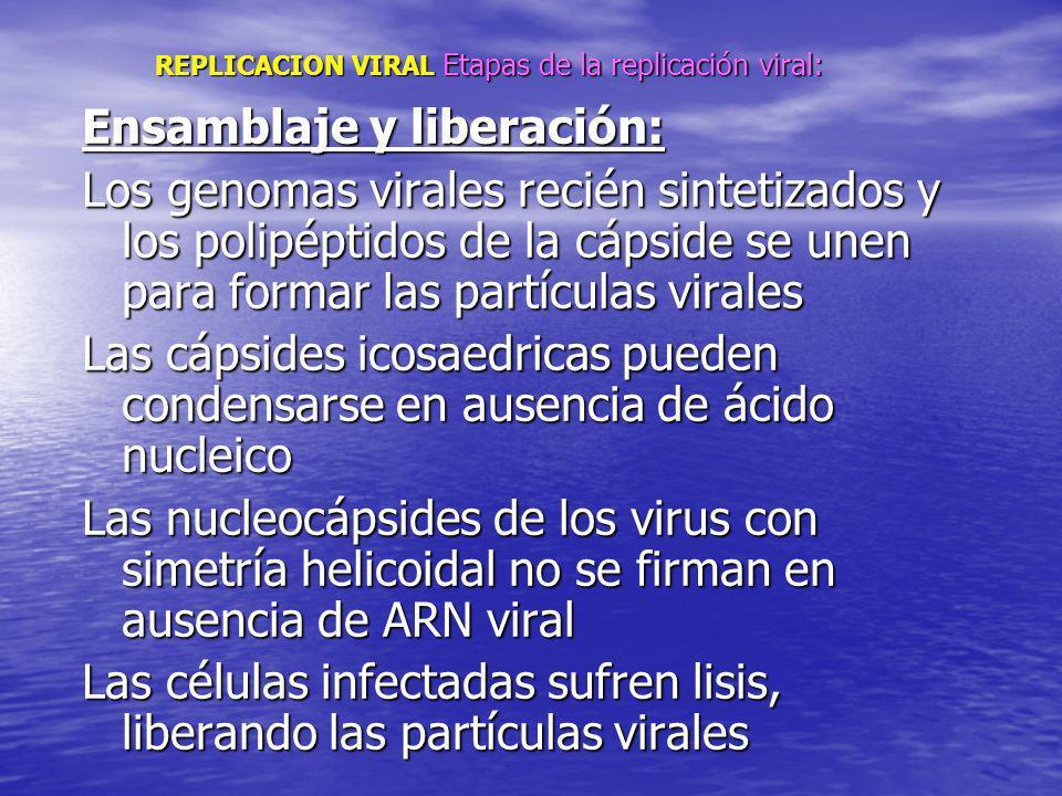 REPLICACION VIRAL Etapas de la replicación viral: REPLICACION VIRAL Etapas de la replicación viral: Ensamblaje y liberación: Los genomas virales recié