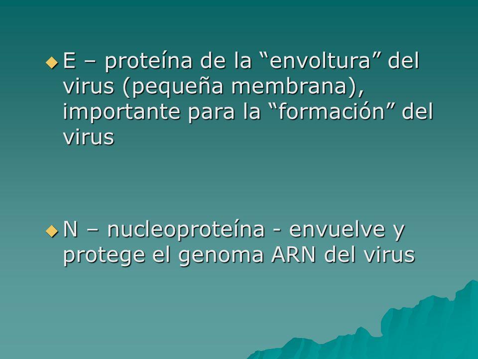 E – proteína de la envoltura del virus (pequeña membrana), importante para la formación del virus E – proteína de la envoltura del virus (pequeña memb