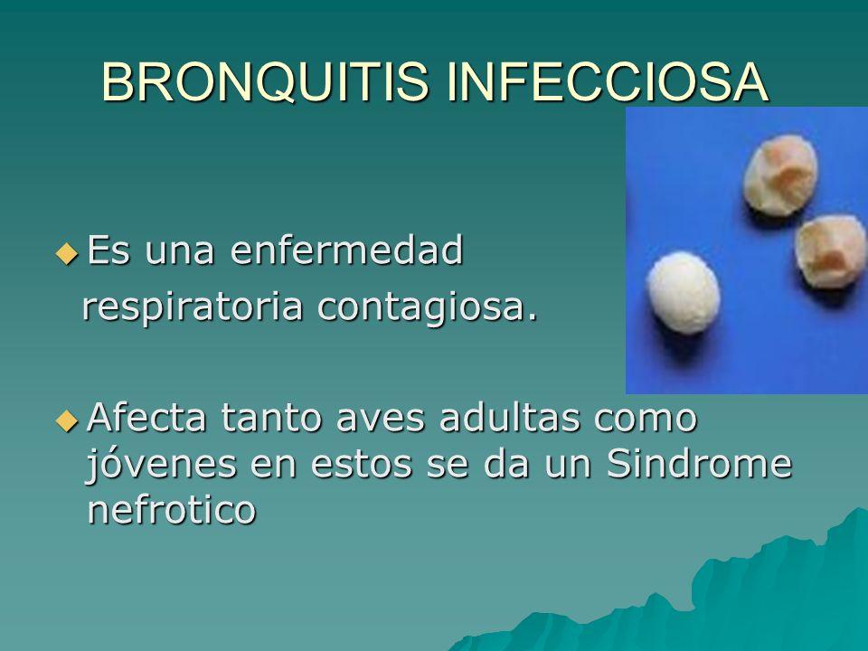 BRONQUITIS INFECCIOSA Es una enfermedad Es una enfermedad respiratoria contagiosa. respiratoria contagiosa. Afecta tanto aves adultas como jóvenes en