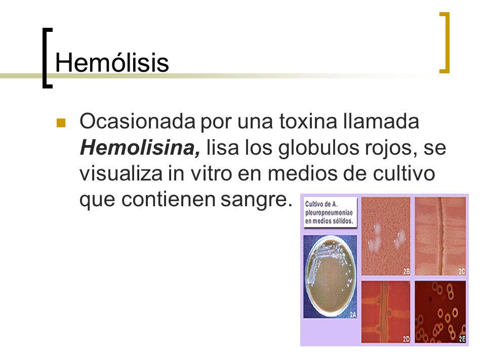 Hemólisis Ocasionada por una toxina llamada Hemolisina, lisa los globulos rojos, se visualiza in vitro en medios de cultivo que contienen sangre.