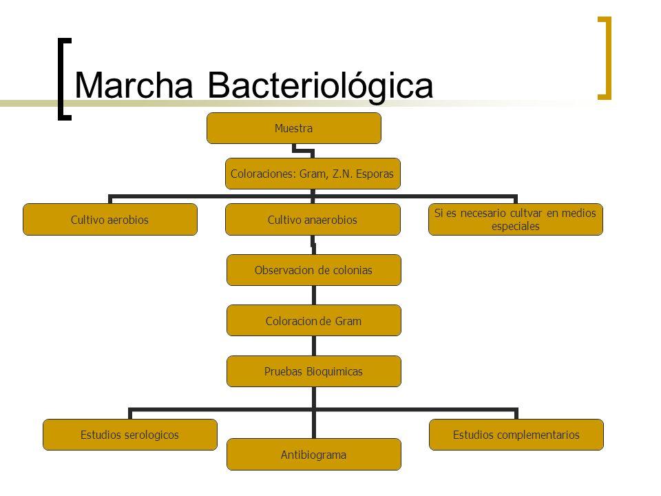 Marcha Bacteriológica Muestra Coloraciones: Gram, Z.N. Esporas Cultivo aerobiosCultivo anaerobios Observacion de colonias Coloracion de Gram Pruebas B