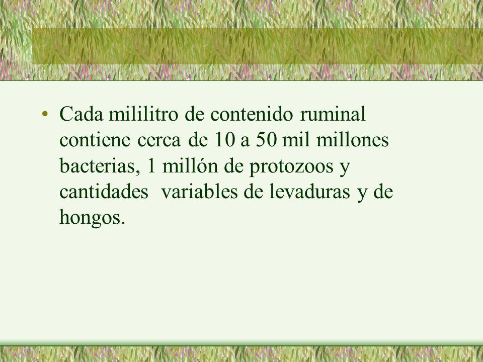 Cada mililitro de contenido ruminal contiene cerca de 10 a 50 mil millones bacterias, 1 millón de protozoos y cantidades variables de levaduras y de h