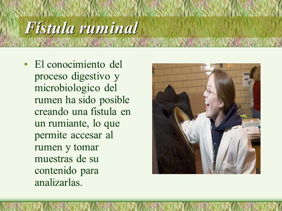 Fístula ruminal El conocimiento del proceso digestivo y microbiologico del rumen ha sido posible creando una fistula en un rumiante, lo que permite ac