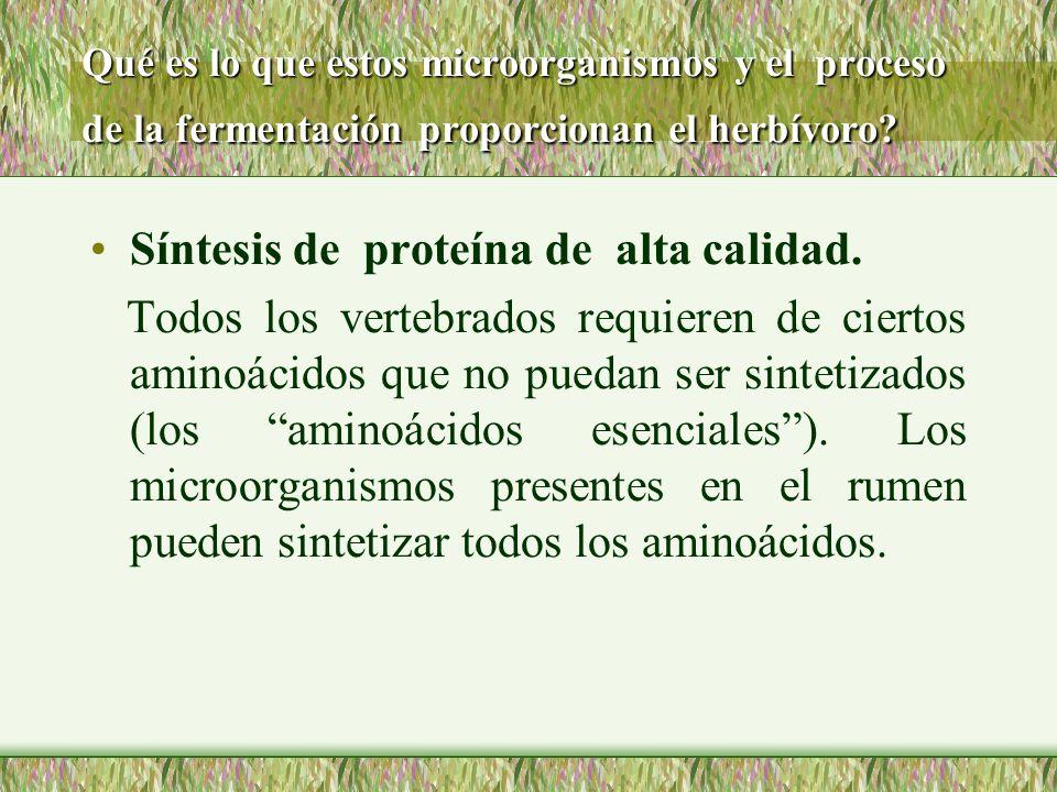 Qué es lo que estos microorganismos y el proceso de la fermentación proporcionan el herbívoro? Síntesis de proteína de alta calidad. Todos los vertebr
