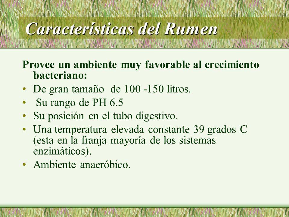 Características del Rumen Provee un ambiente muy favorable al crecimiento bacteriano: De gran tamaño de 100 -150 litros. Su rango de PH 6.5 Su posició