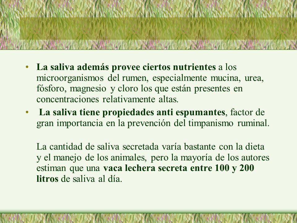 La saliva además provee ciertos nutrientes a los microorganismos del rumen, especialmente mucina, urea, fósforo, magnesio y cloro los que están presen