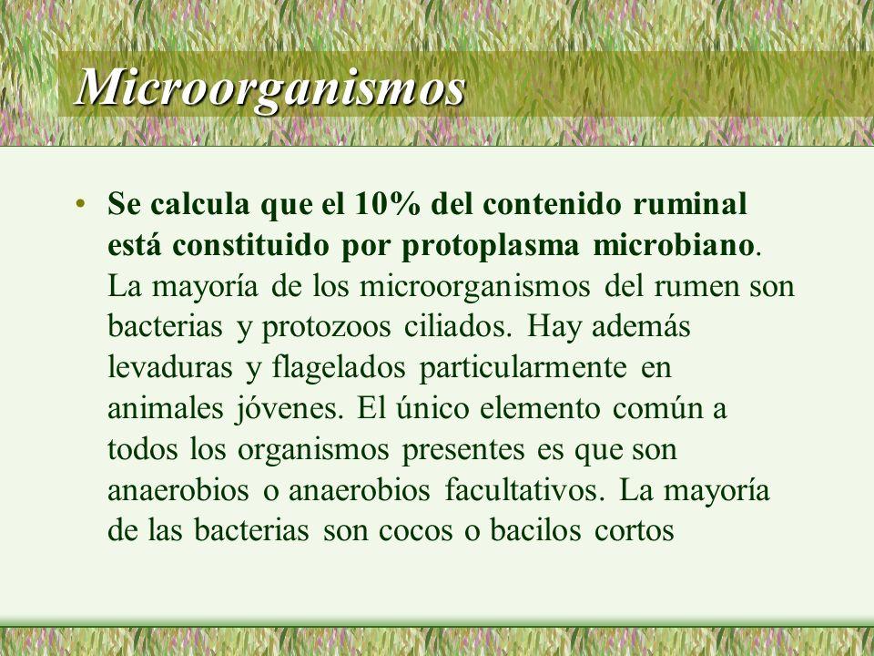 Microorganismos Se calcula que el 10% del contenido ruminal está constituido por protoplasma microbiano. La mayoría de los microorganismos del rumen s