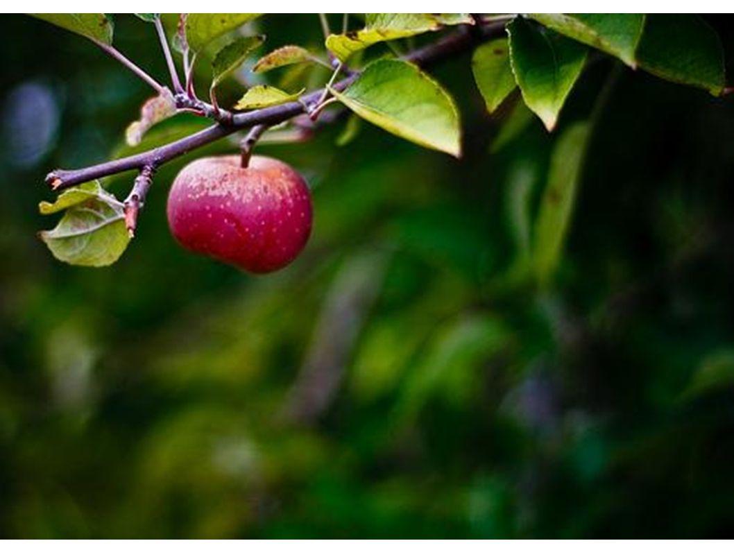 Der Stiel hält den Apfel am Baum.