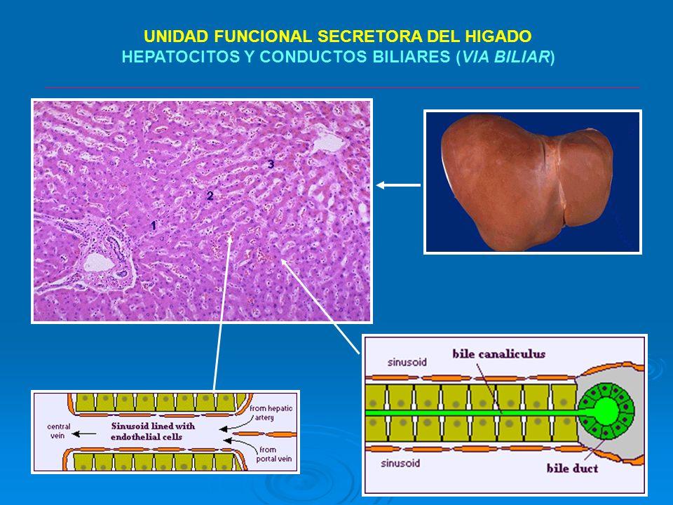 DEFINICIONES Colangiografía transhepática percutánea es un procedimiento de diagnóstico que implica la colocación de una aguja estéril en las ramas periféricas biliares con el uso de guía por imágenes, seguida de la inyección de contraste para delinear la anatomía biliar y el potencial de los procesos patológicos biliar.