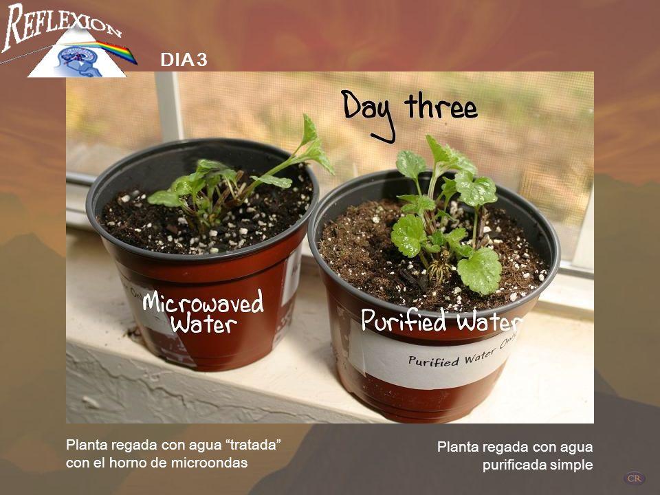 Planta regada con agua tratada con el horno de microondas Planta regada con agua purificada simple DIA 1 Dos plantas idénticas con condiciones control