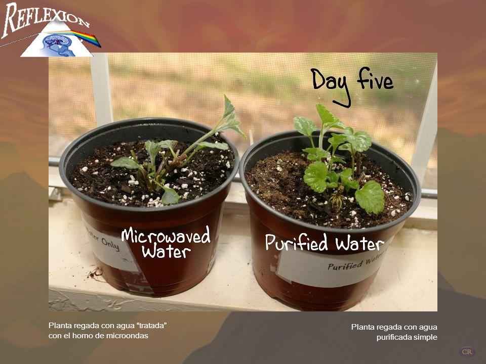 Planta regada con agua tratada con el horno de microondas Planta regada con agua purificada simple DIA 3