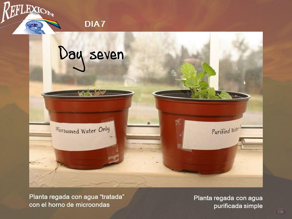 Planta regada con agua tratada con el horno de microondas Planta regada con agua purificada simple DIA 5