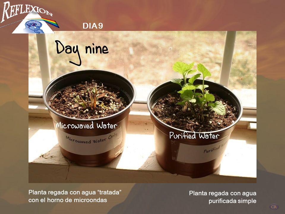 Planta regada con agua tratada con el horno de microondas Planta regada con agua purificada simple DIA 7